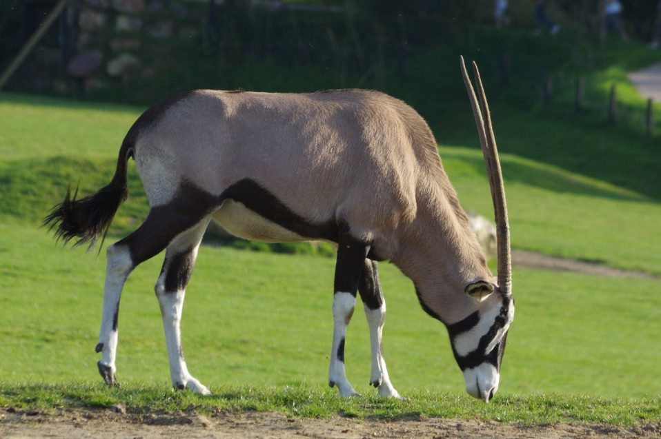 Le Gemsbok