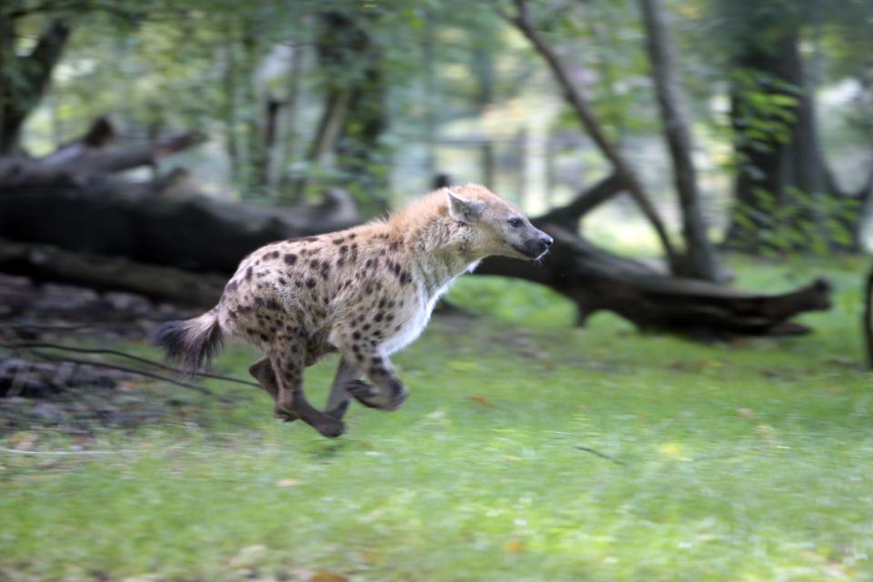 La hyène tachetée