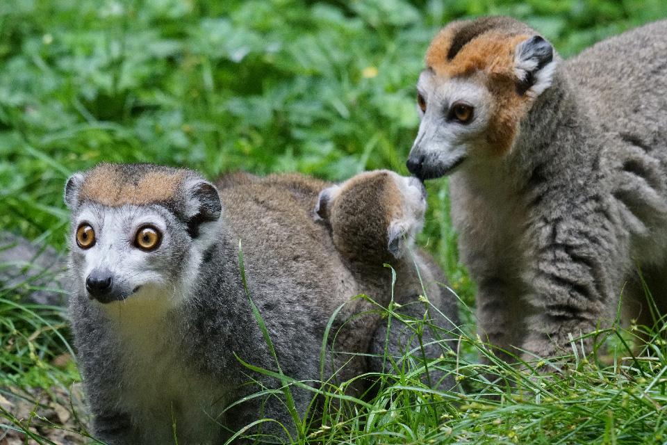 Le lémurien couronné