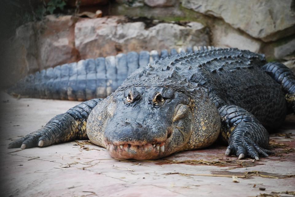 L'alligator du mississippi