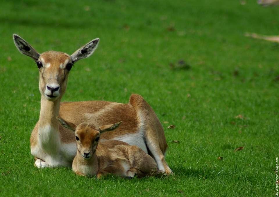 L'antilope cervicapre