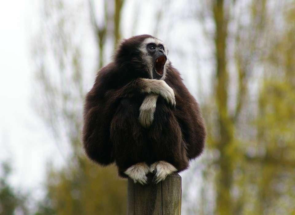 Le gibbon à mains blanches