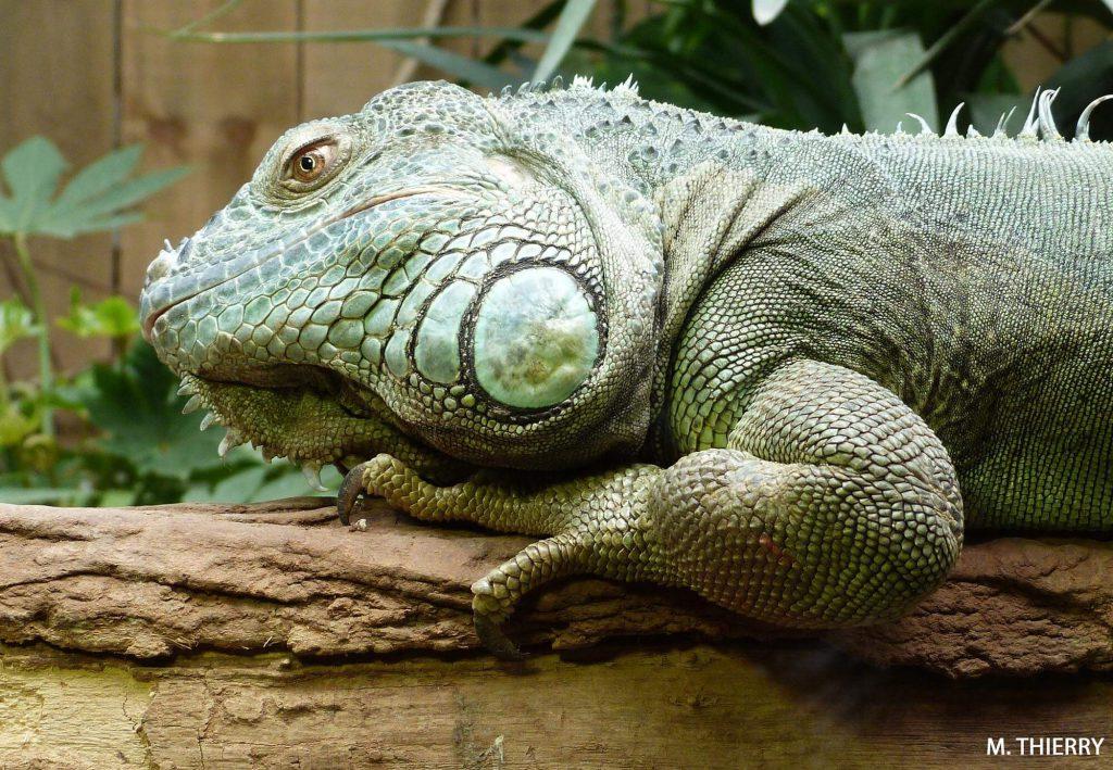 L'Iguane vert