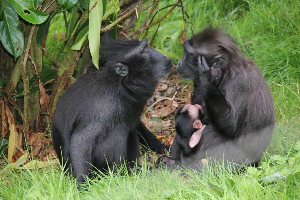 Le macaque noir à crête