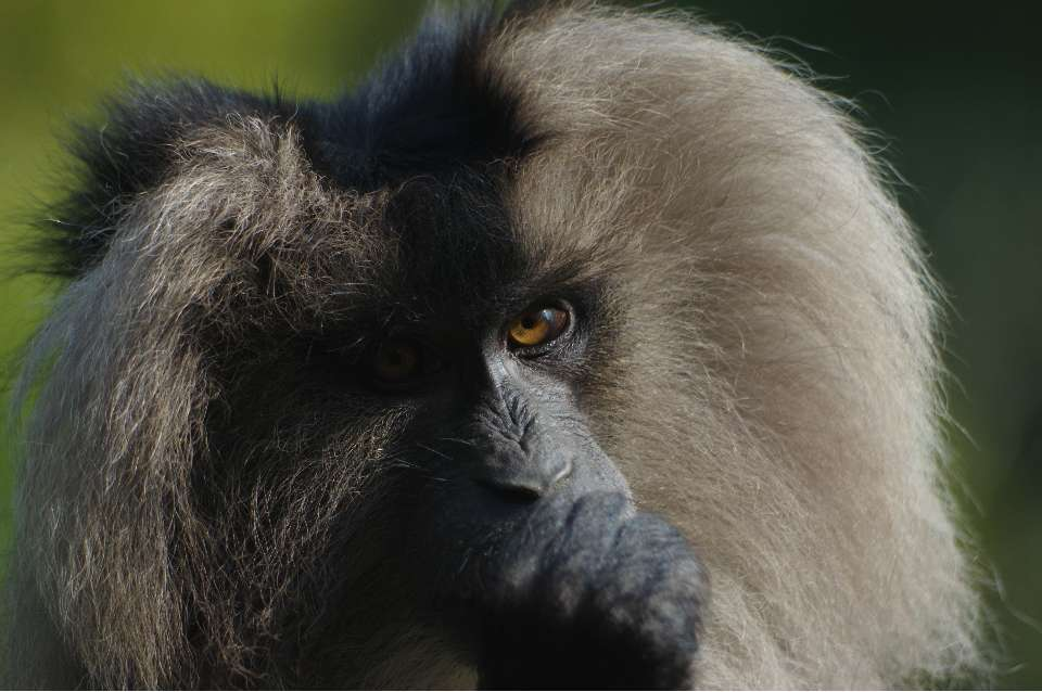 Le macaque ouanderou