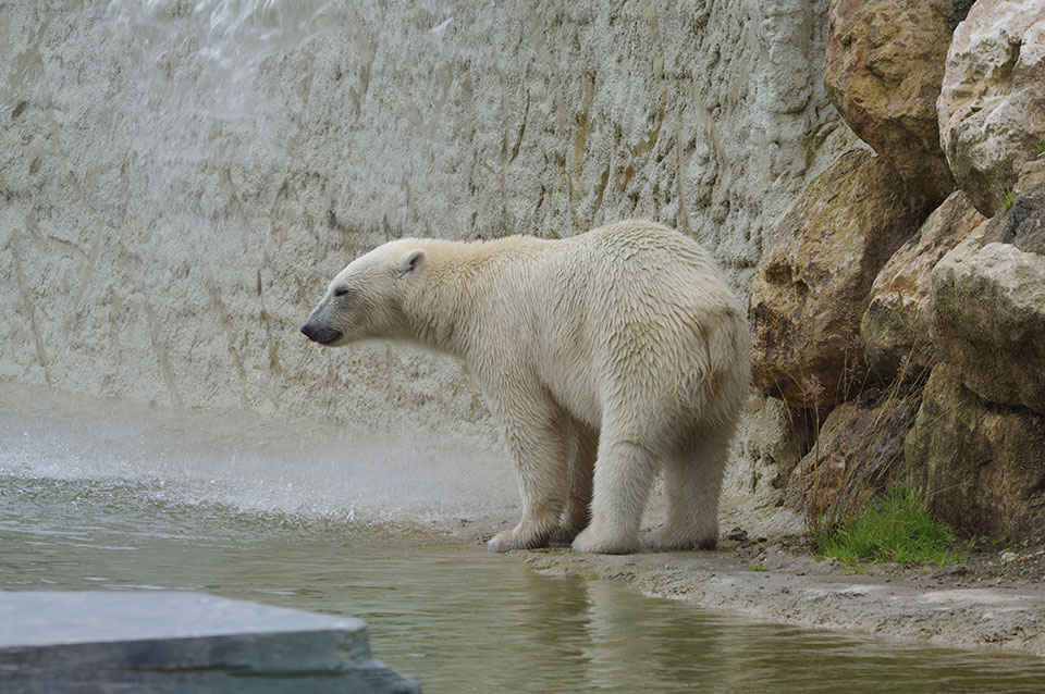Fort comme un ours ... polaire