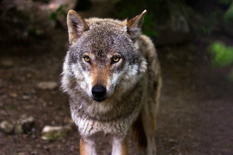 Même pas peur du loup !