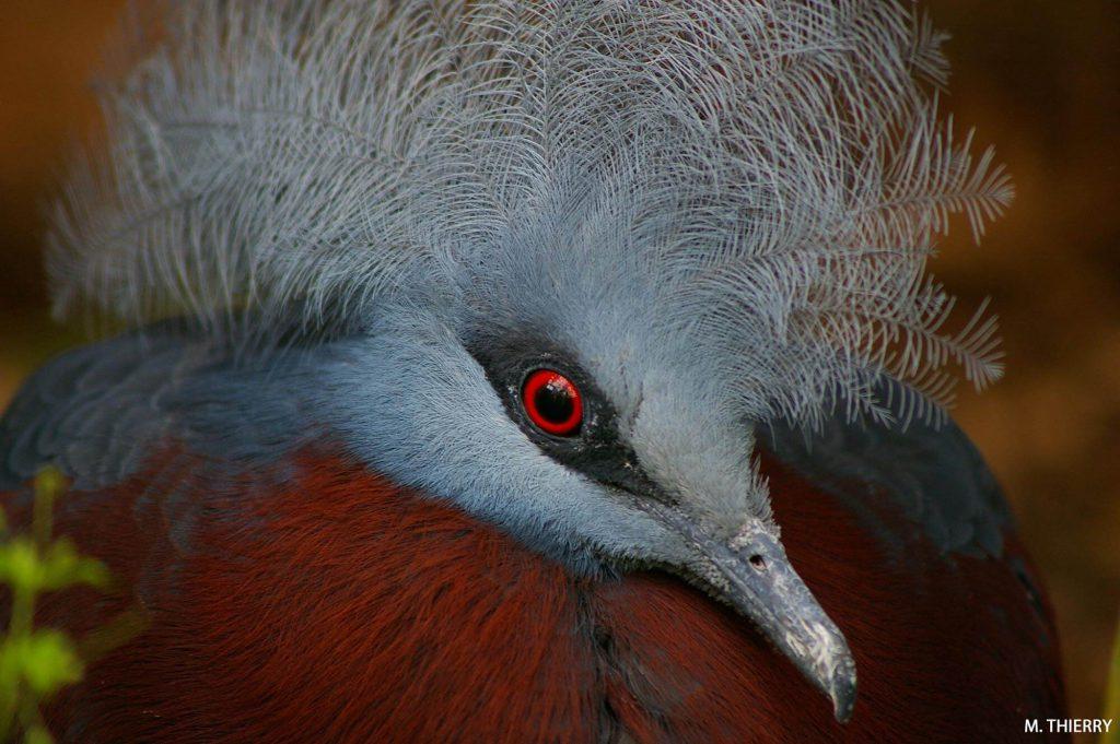 Le pigeon couronné