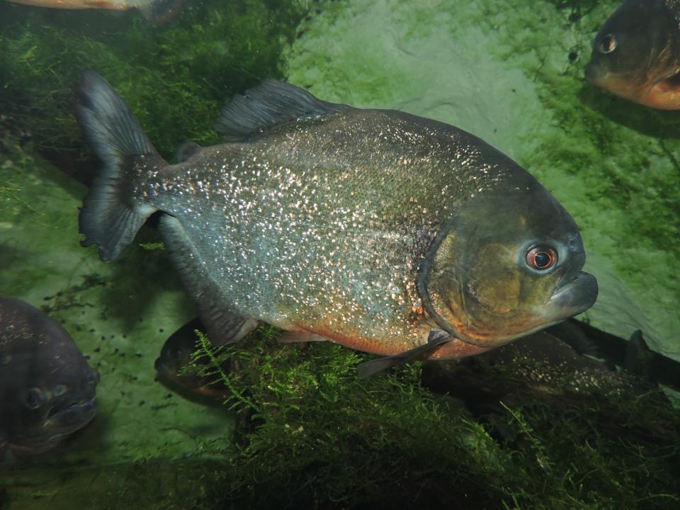 Le piranha rouge