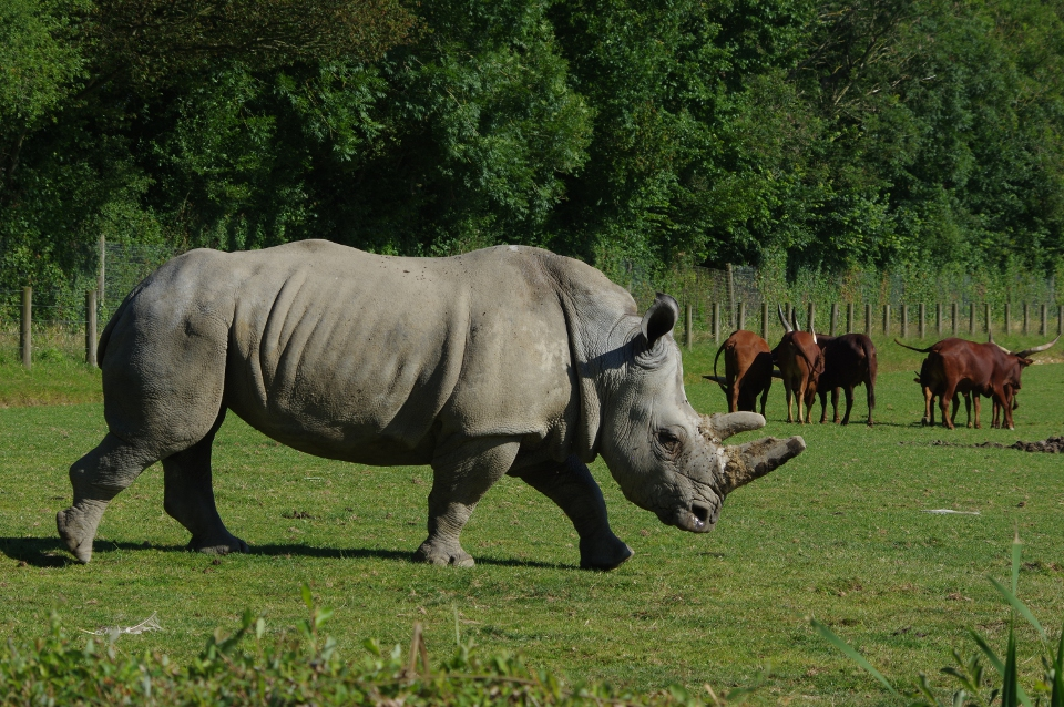 Le Rhinocéros blanc