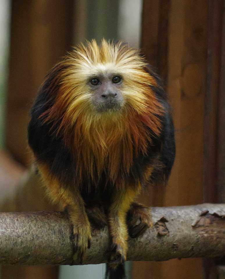 Le Tamarin lion à tête dorée