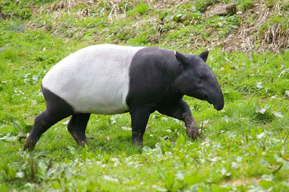 Le tapir malais
