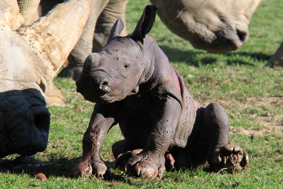 Un rhinocéros blanc est né au CERZA