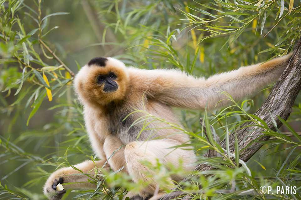 Le gibbon a favoris roux