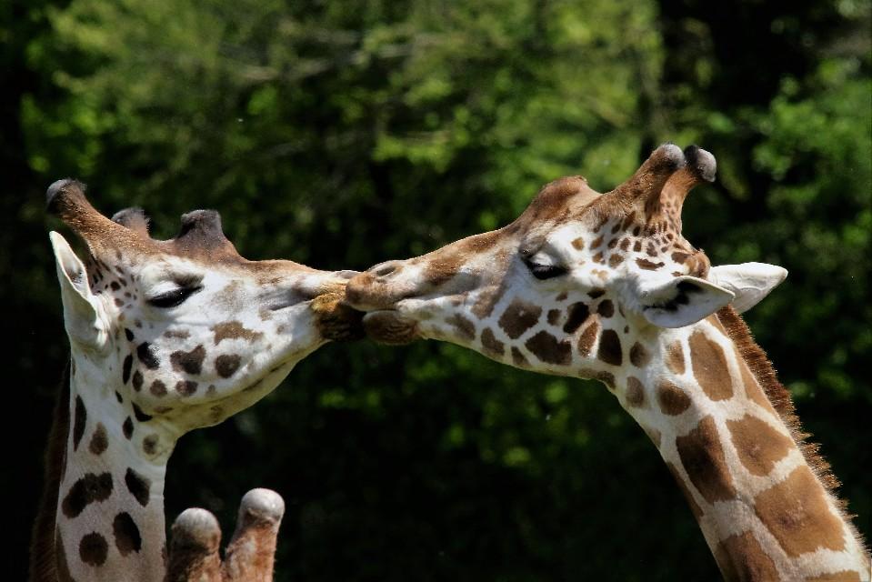 Objectif Girafes
