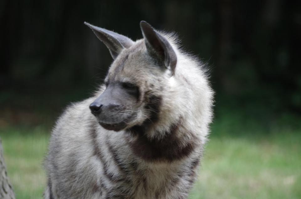 La Hyène rayée