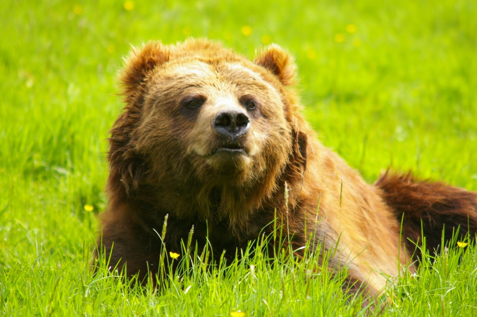 L'ours brun