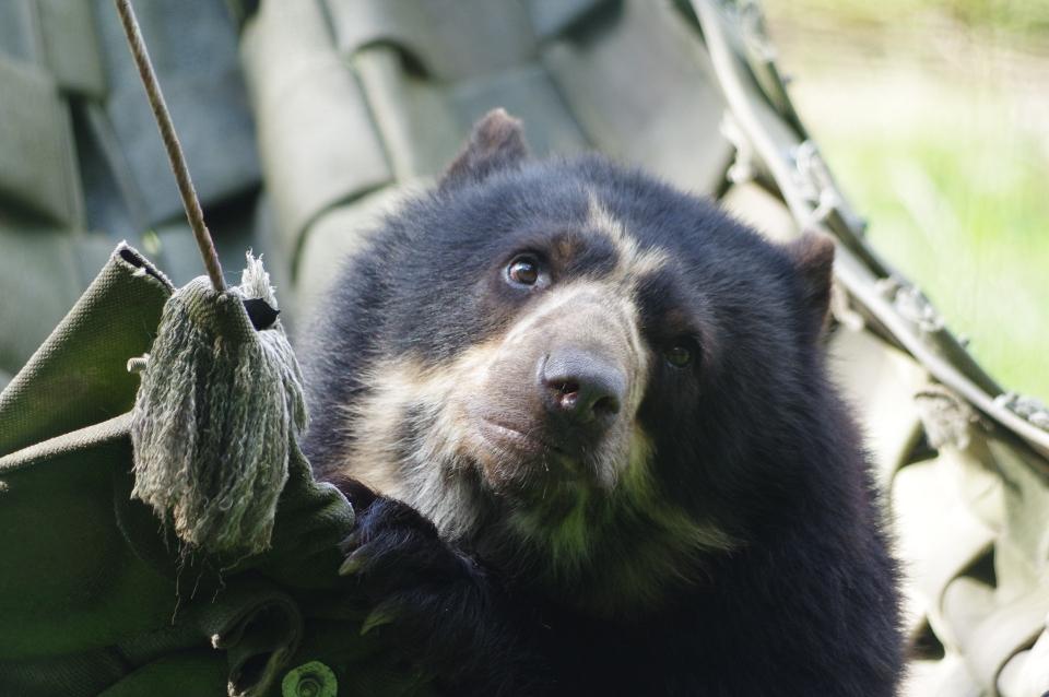 L'ours à lunettes