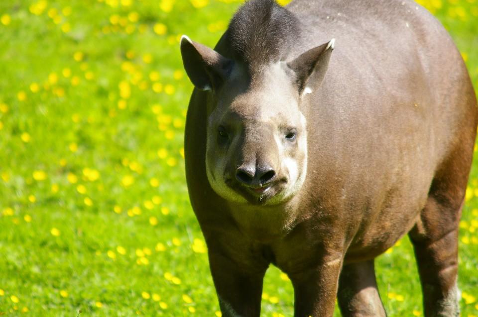 Objectif Tapirs