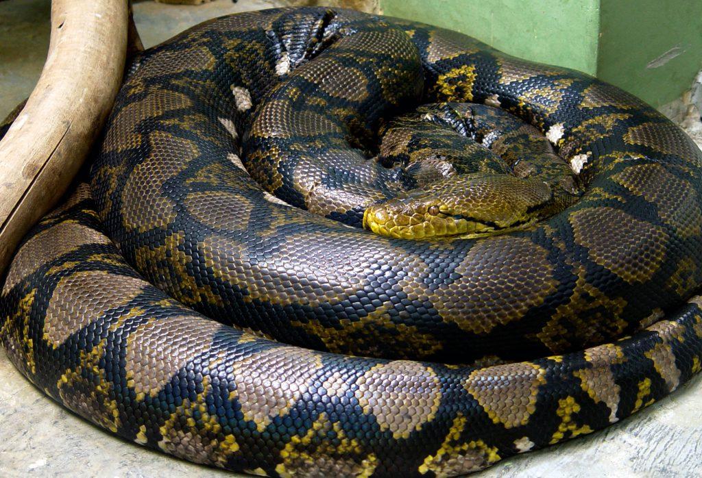 Le python réticulé