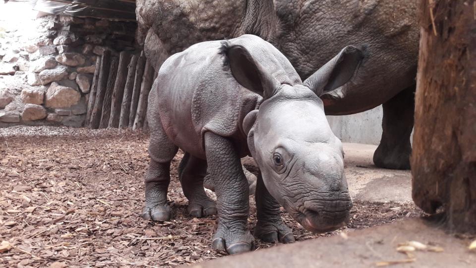 Le rhinocéros indien