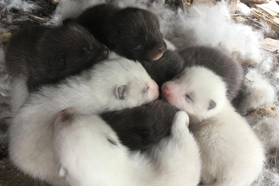 Mai 2019 : Naissances de renards polaires