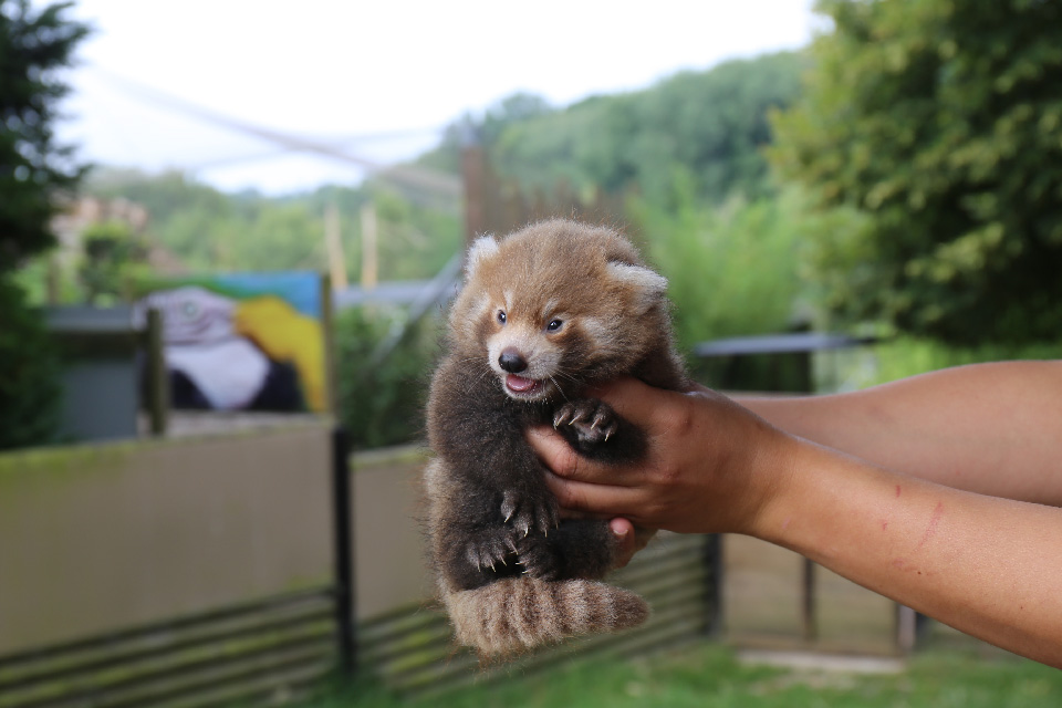 Juin 2018 : Naissance de pandas roux