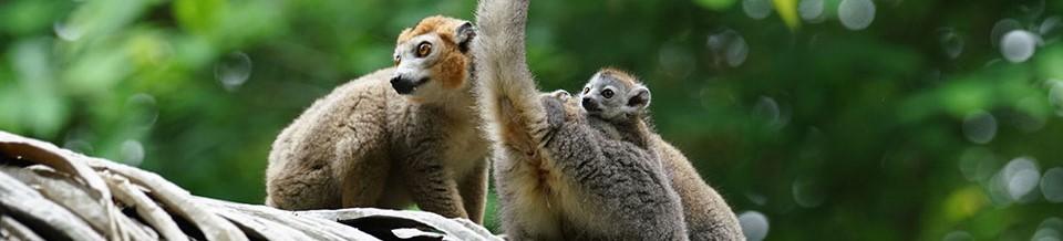 Naissance de deux bébés Lémurs Couronnés!!!