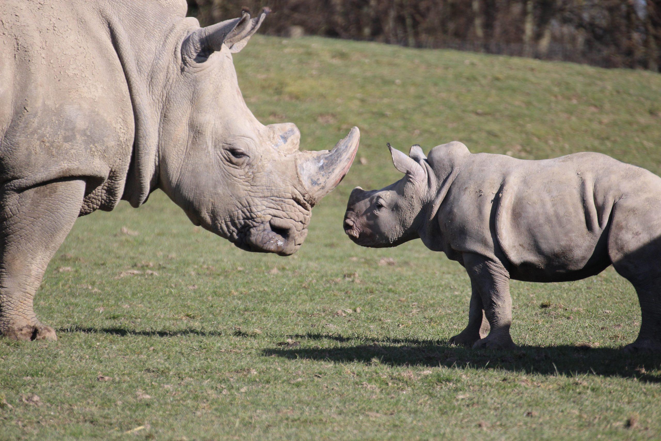 Naissance d'un Bébé Rhinocéros Blanc  !!!